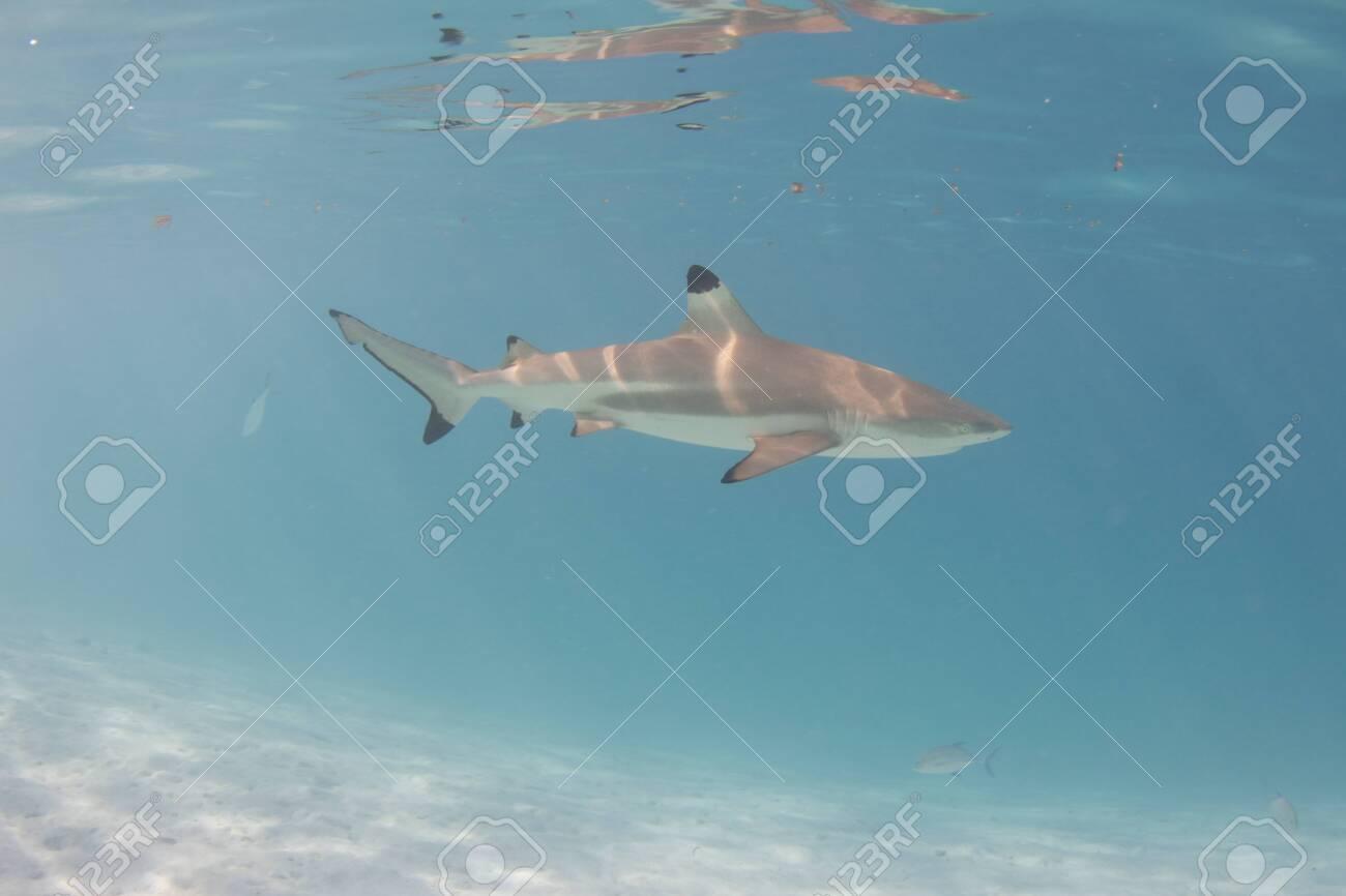 Blacktip Reef Shark in the lagoon off Moorea, French Polynesia next to Tahiti - 156618486