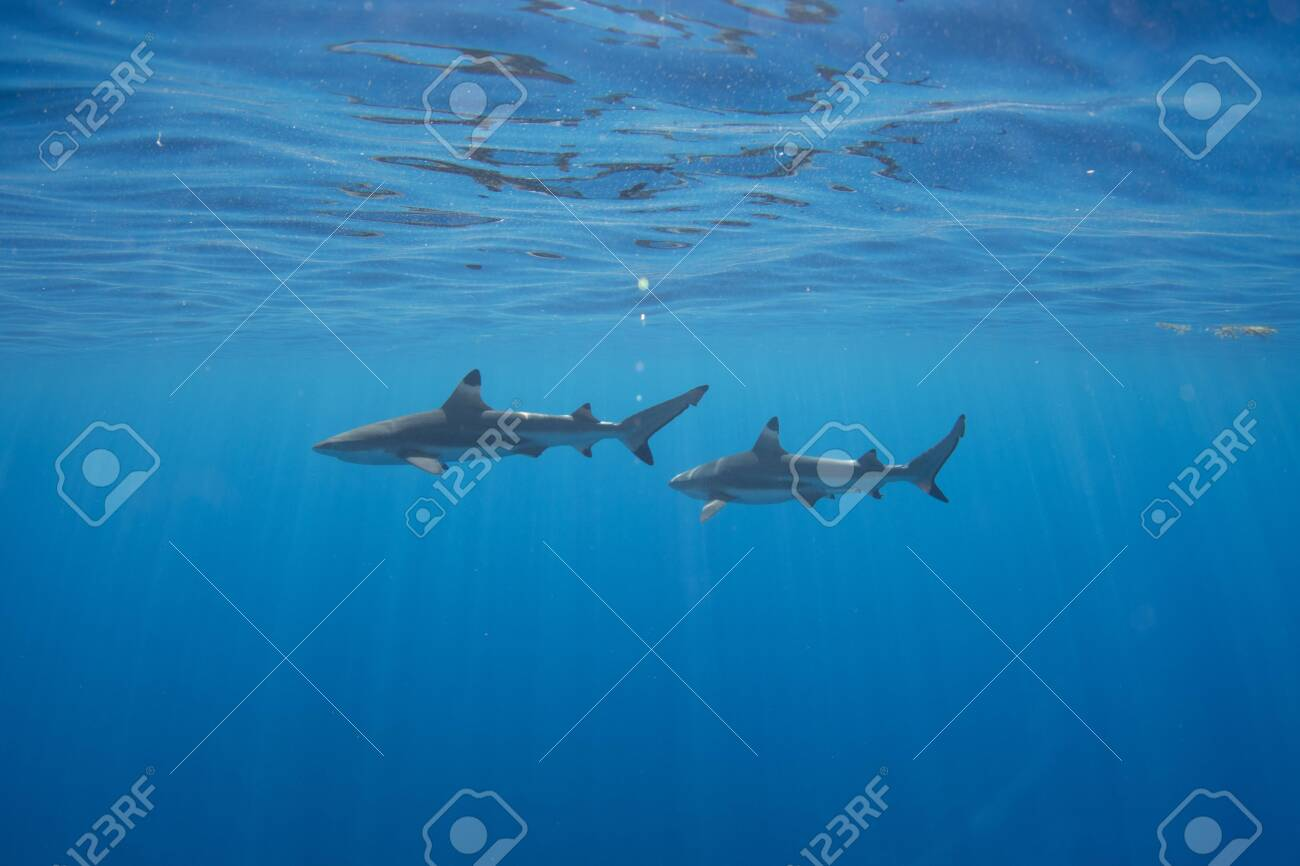 Blacktip Reef Sharks in the lagoon off Moorea, French Polynesia next to Tahiti - 156618487