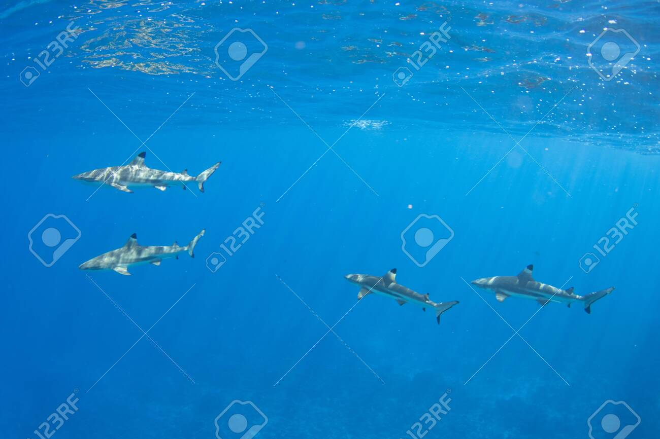 Blacktip Reef Sharks in the lagoon off Moorea, French Polynesia next to Tahiti - 156618491