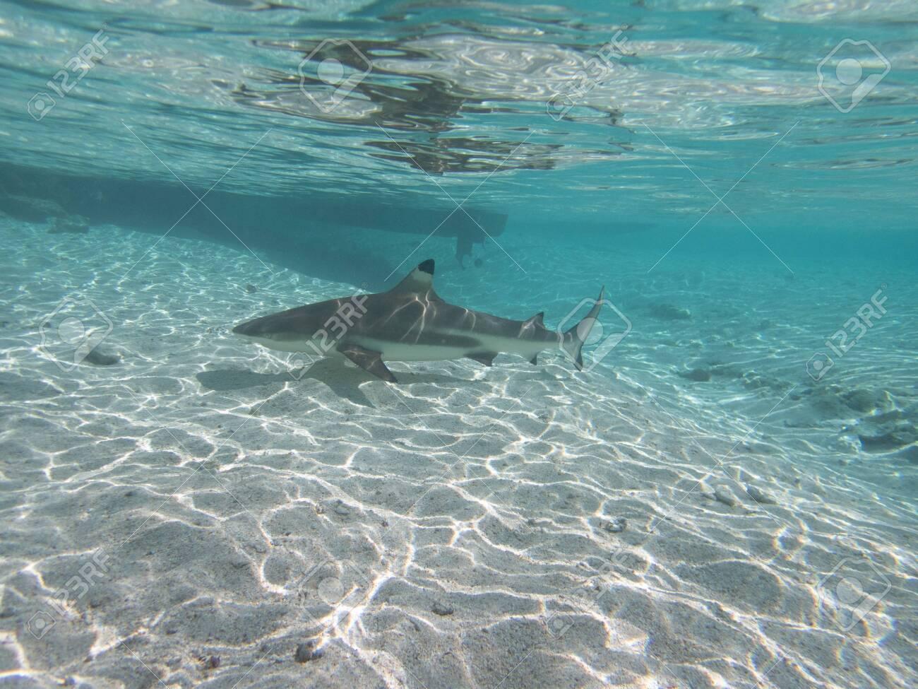 Blacktip Reef Shark in the lagoon off Moorea, French Polynesia next to Tahiti - 156618493