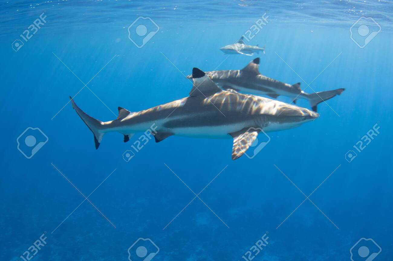 Blacktip Reef Sharks in the lagoon off Moorea, French Polynesia next to Tahiti - 156618495