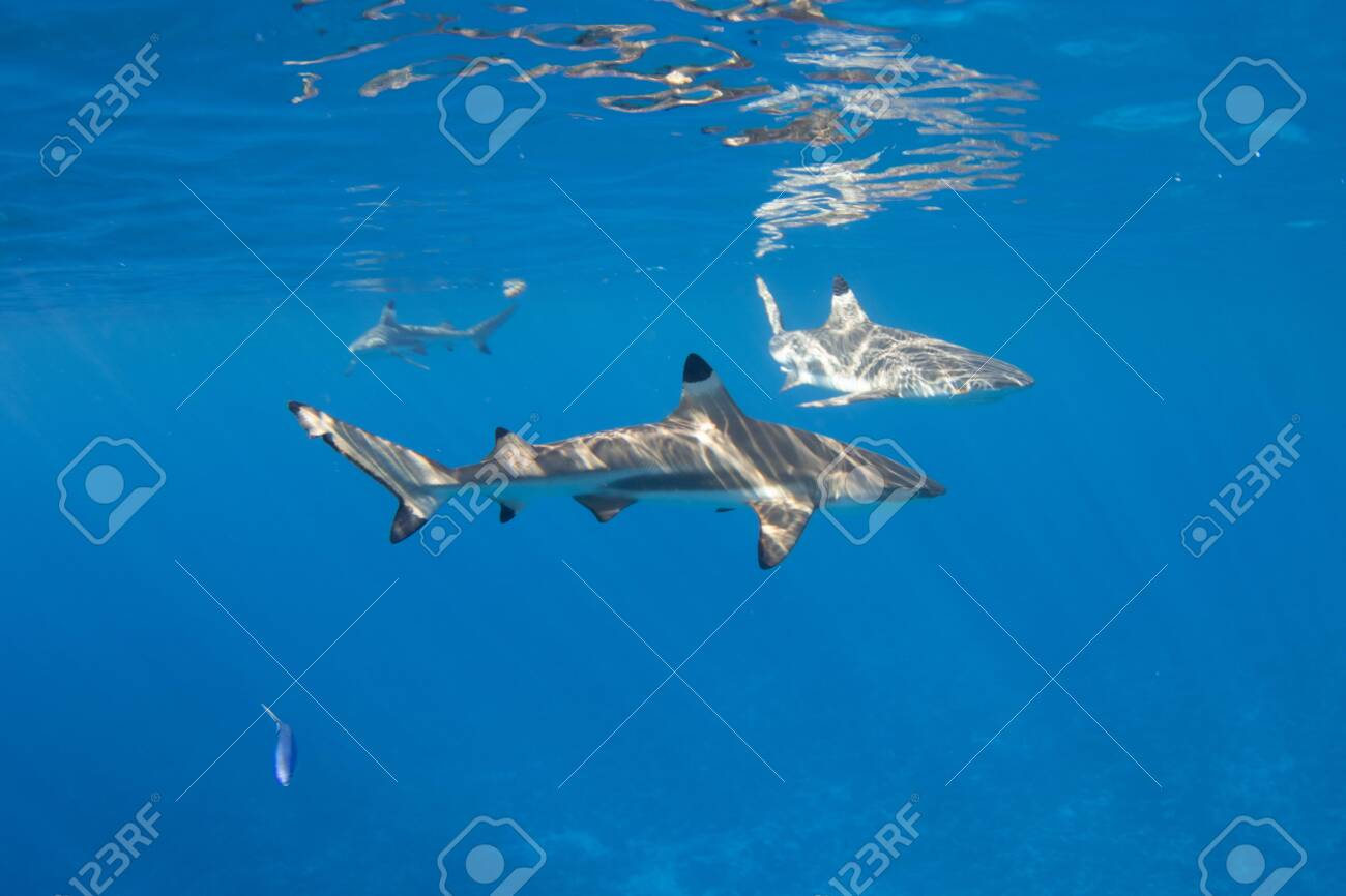 Blacktip Reef Sharks in the lagoon off Moorea, French Polynesia next to Tahiti - 156618500