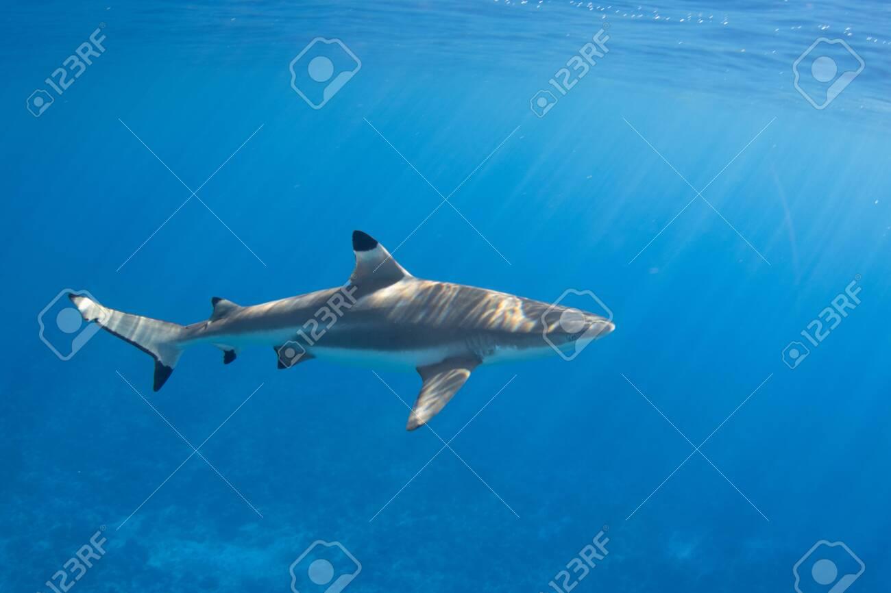Blacktip Reef Shark in the lagoon off Moorea, French Polynesia next to Tahiti - 156618509