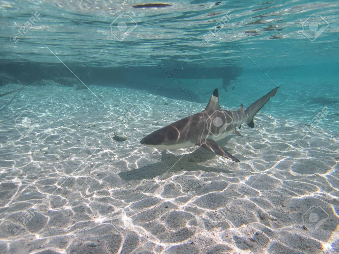 Blacktip Reef Shark in the lagoon off Moorea, French Polynesia next to Tahiti - 156618513