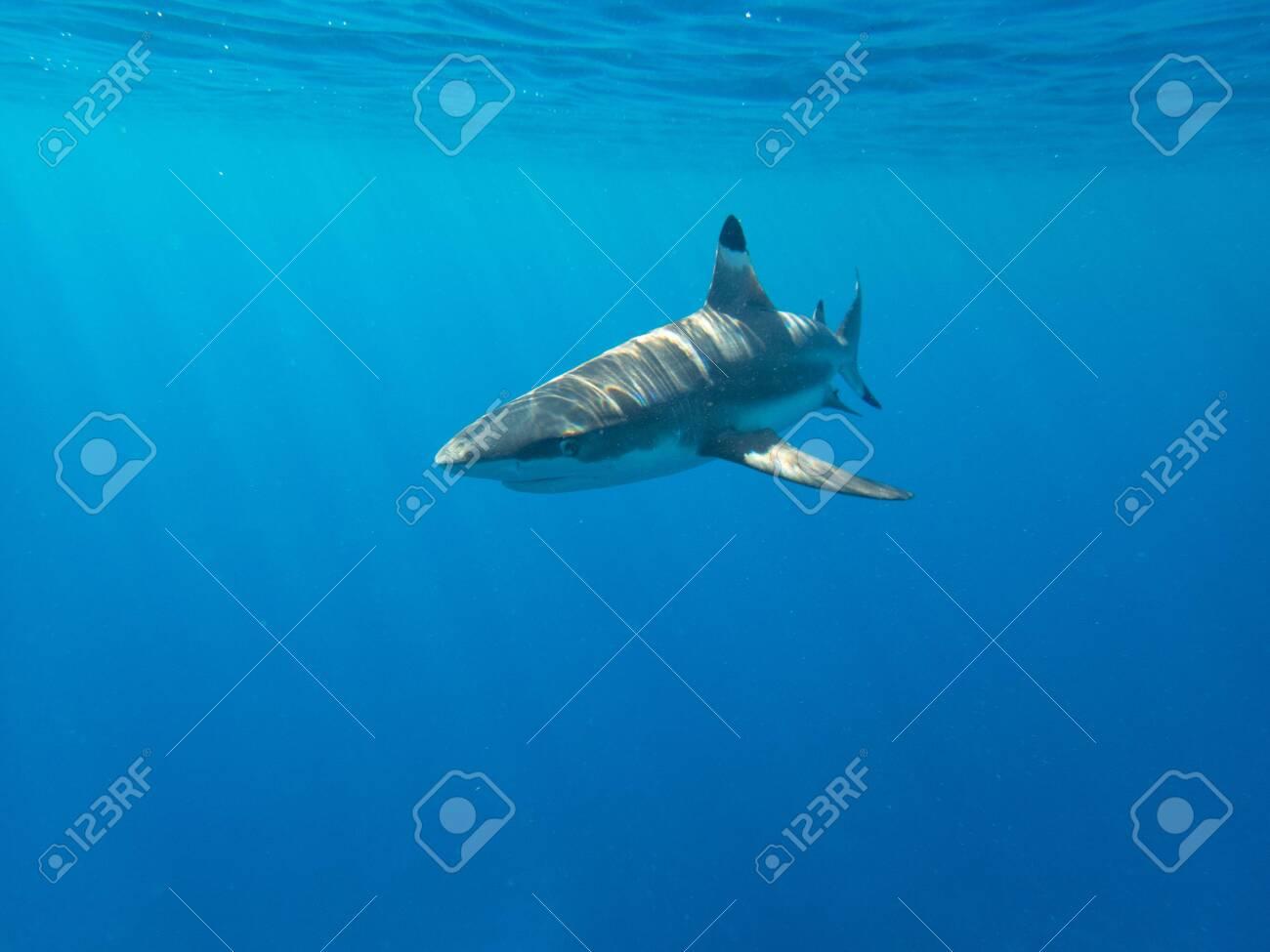 Blacktip Reef Shark in the lagoon off Moorea, French Polynesia next to Tahiti - 156618542
