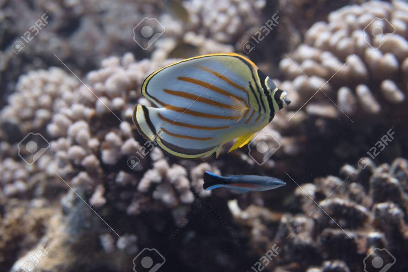 Ornate Butterflyfish (Chaetodon ornatissimus) with Bluestreak Cleaner Wrasse (Labroides dimidiatus) on coral reef off Moorea. French Polynesia, next to Tahiti in the South Pacific. - 156618544