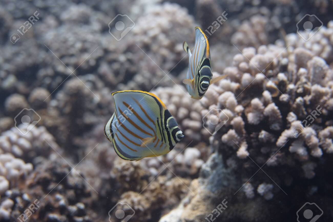 Ornate Butterflyfish (Chaetodon ornatissimus) on coral reef off Moorea. French Polynesia, next to Tahiti in the South Pacific. - 156618545