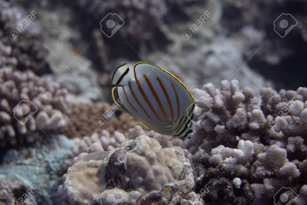 Ornate Butterflyfish (Chaetodon ornatissimus) on coral reef off Moorea. French Polynesia, next to Tahiti in the South Pacific. - 156618547