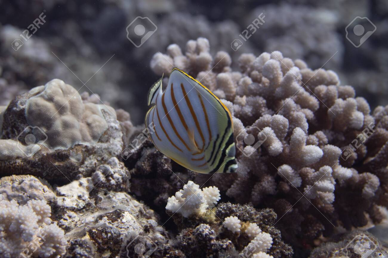 Ornate Butterflyfish (Chaetodon ornatissimus) on coral reef off Moorea. French Polynesia, next to Tahiti in the South Pacific. - 156618548