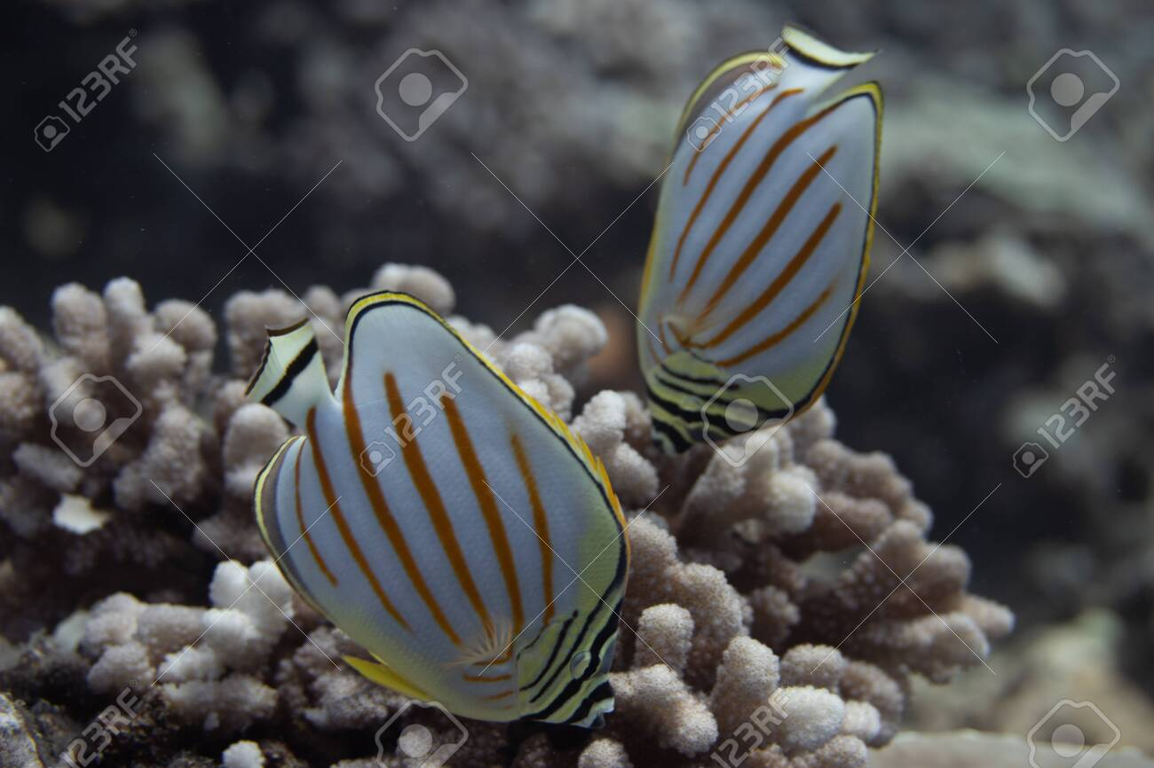 Ornate Butterflyfish (Chaetodon ornatissimus) on coral reef off Moorea. French Polynesia, next to Tahiti in the South Pacific. - 156618549