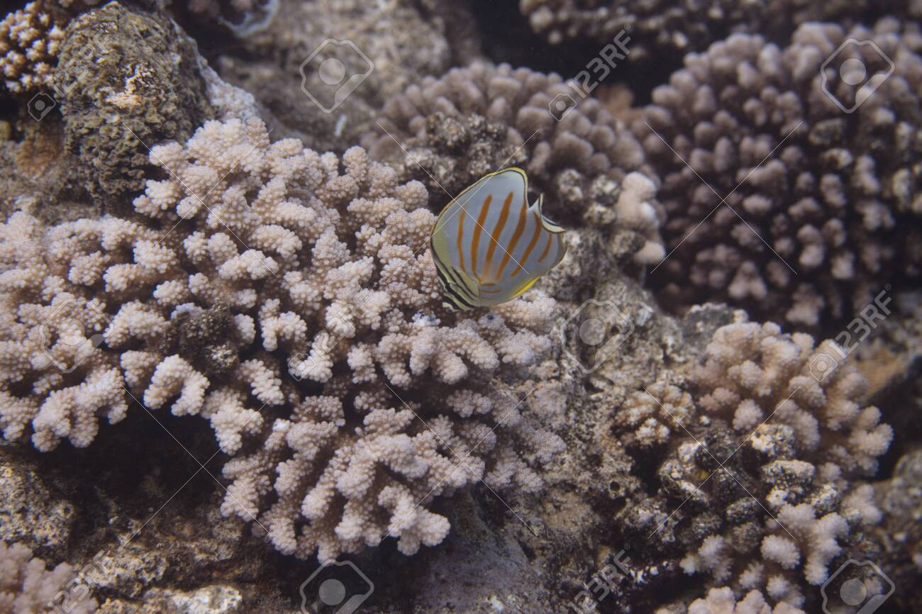 Ornate Butterflyfish (Chaetodon ornatissimus) on coral reef off Moorea. French Polynesia, next to Tahiti in the South Pacific. - 156618560