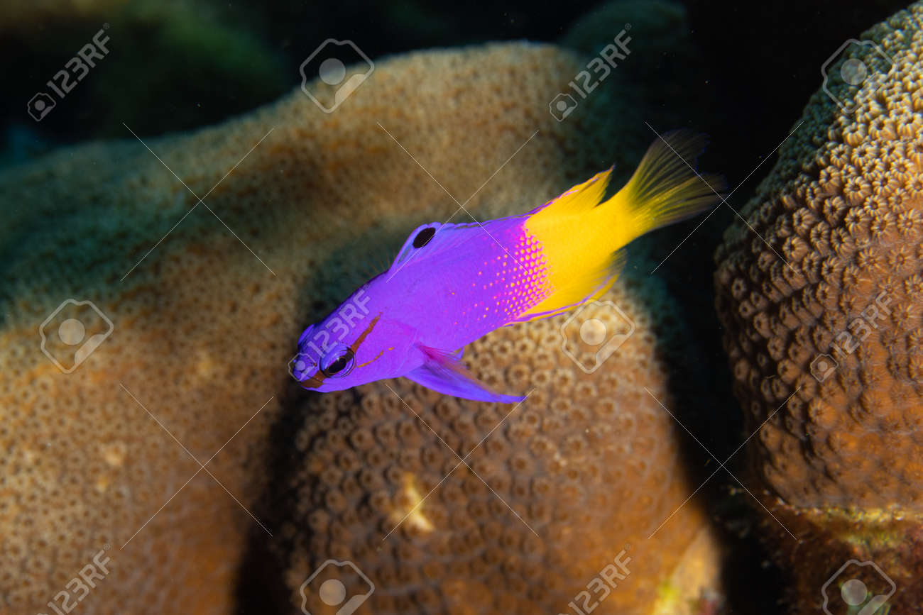 Fairy basslet (royal gramma) on coral reef off the tropical island of Bonaire in the Caribbean Netherlands. - 169538786