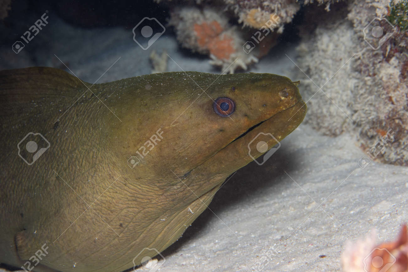 Green moray eel on coral reef off the tropical island of Bonaire in the Caribbean Netherlands. - 169538793