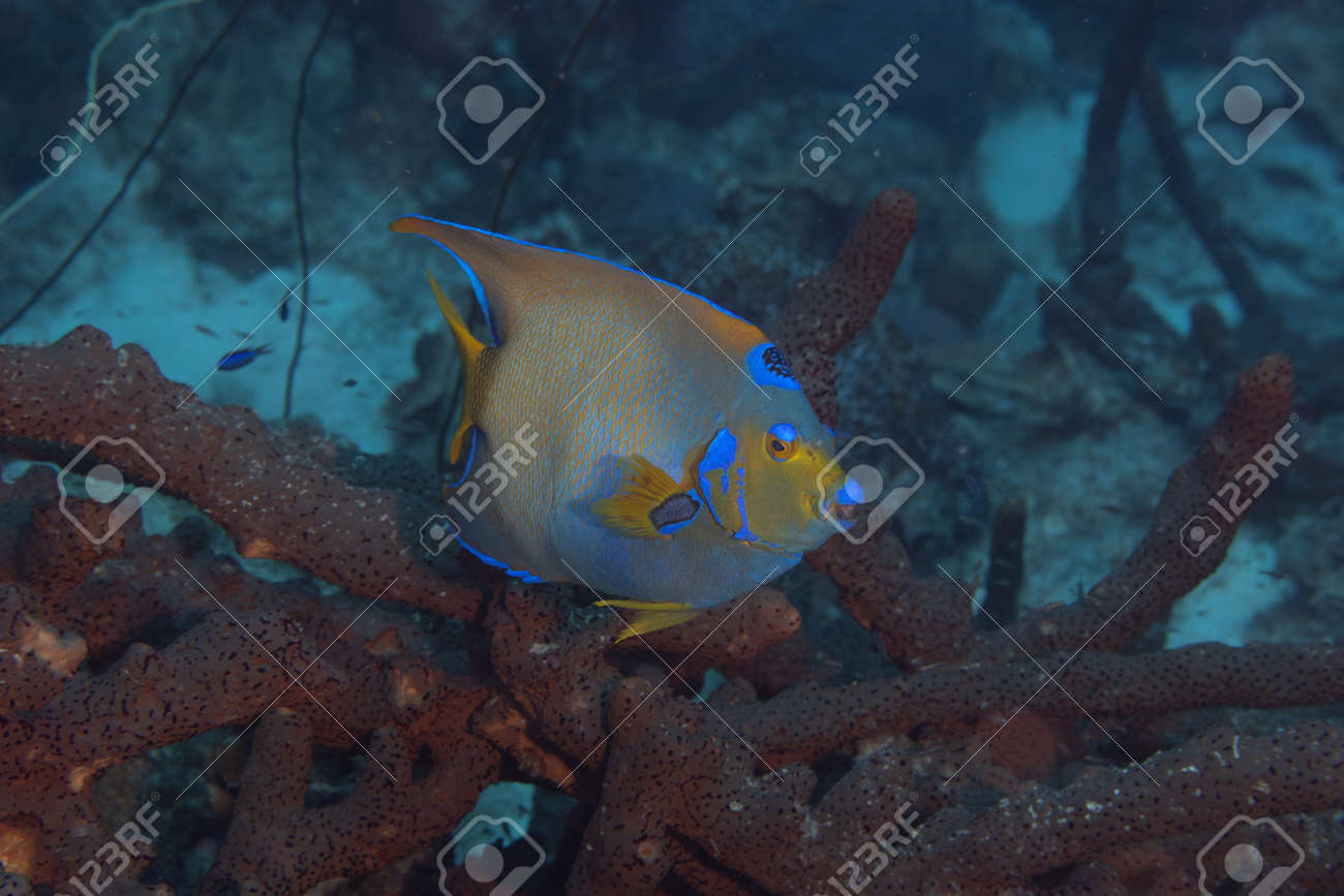 Queen angelfish on coral reef off the tropical island of Bonaire in the Caribbean Netherlands. - 169539201