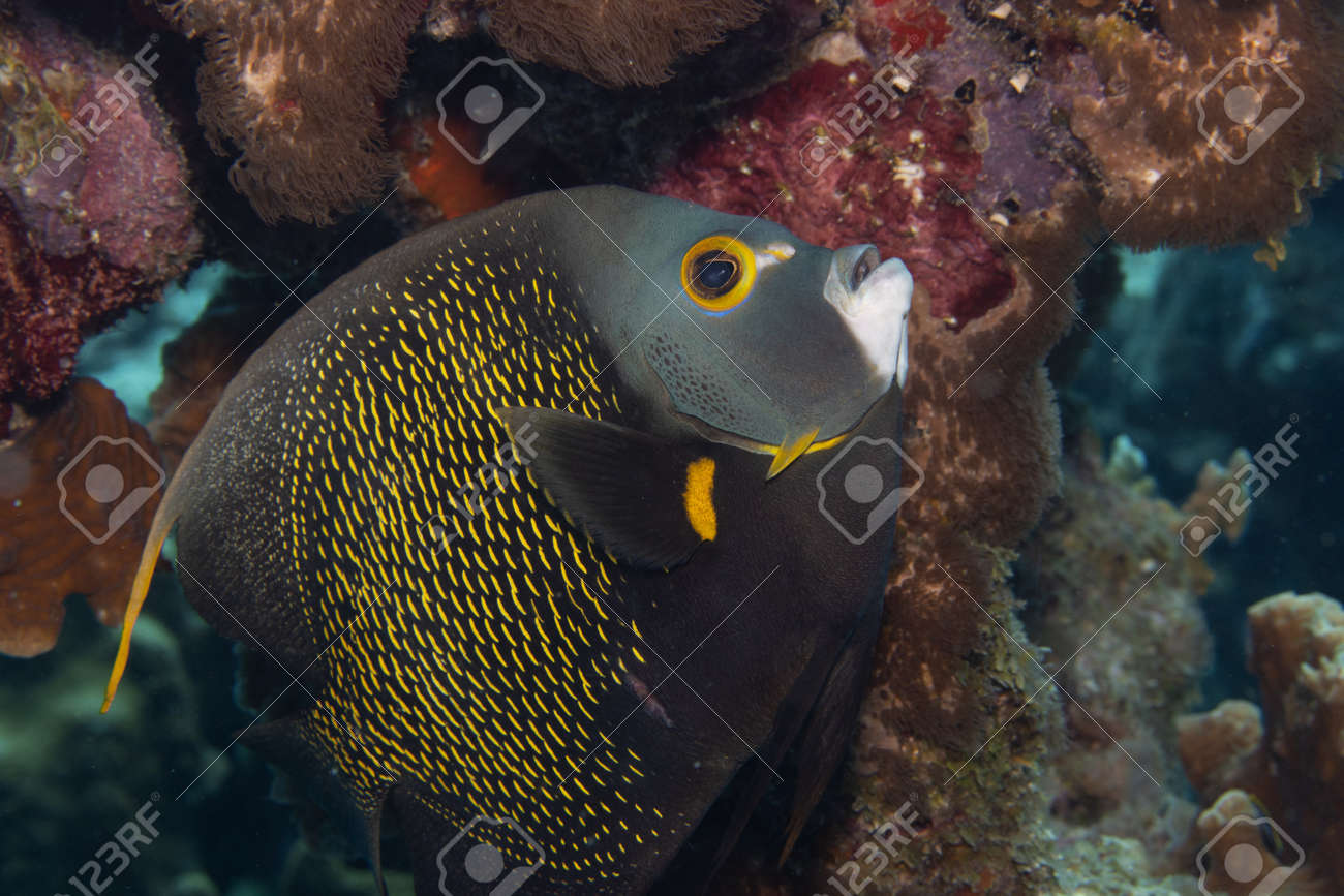 French angelfish on coral reef off the tropical island of Bonaire in the Caribbean Netherlands. - 169539202