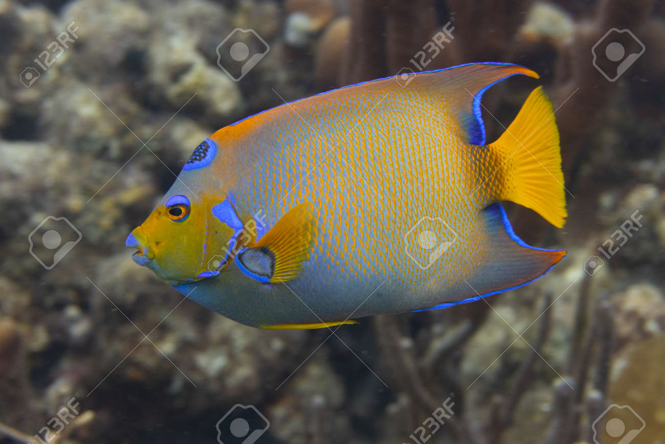 Queen angelfish on coral reef off the tropical island of Bonaire in the Caribbean Netherlands. - 169539204
