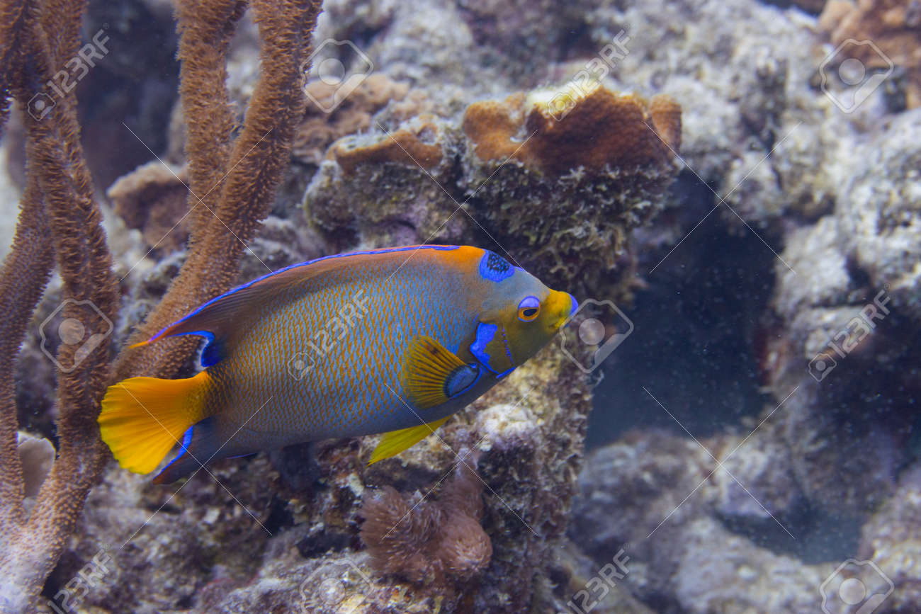 Queen angelfish on coral reef off the tropical island of Bonaire in the Caribbean Netherlands. - 169539207