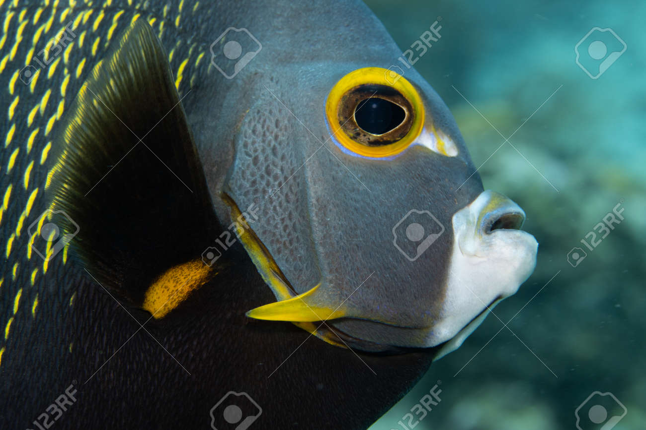 French angelfish on coral reef off the tropical island of Bonaire in the Caribbean Netherlands. Closeup on the face. - 169539211
