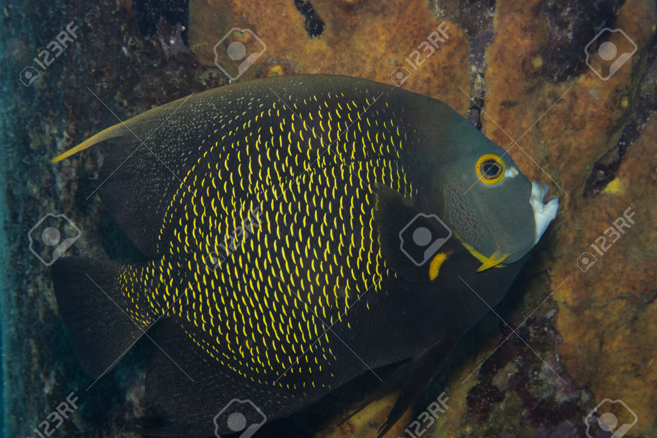 French angelfish on coral reef off the tropical island of Bonaire in the Caribbean Netherlands. - 169539212