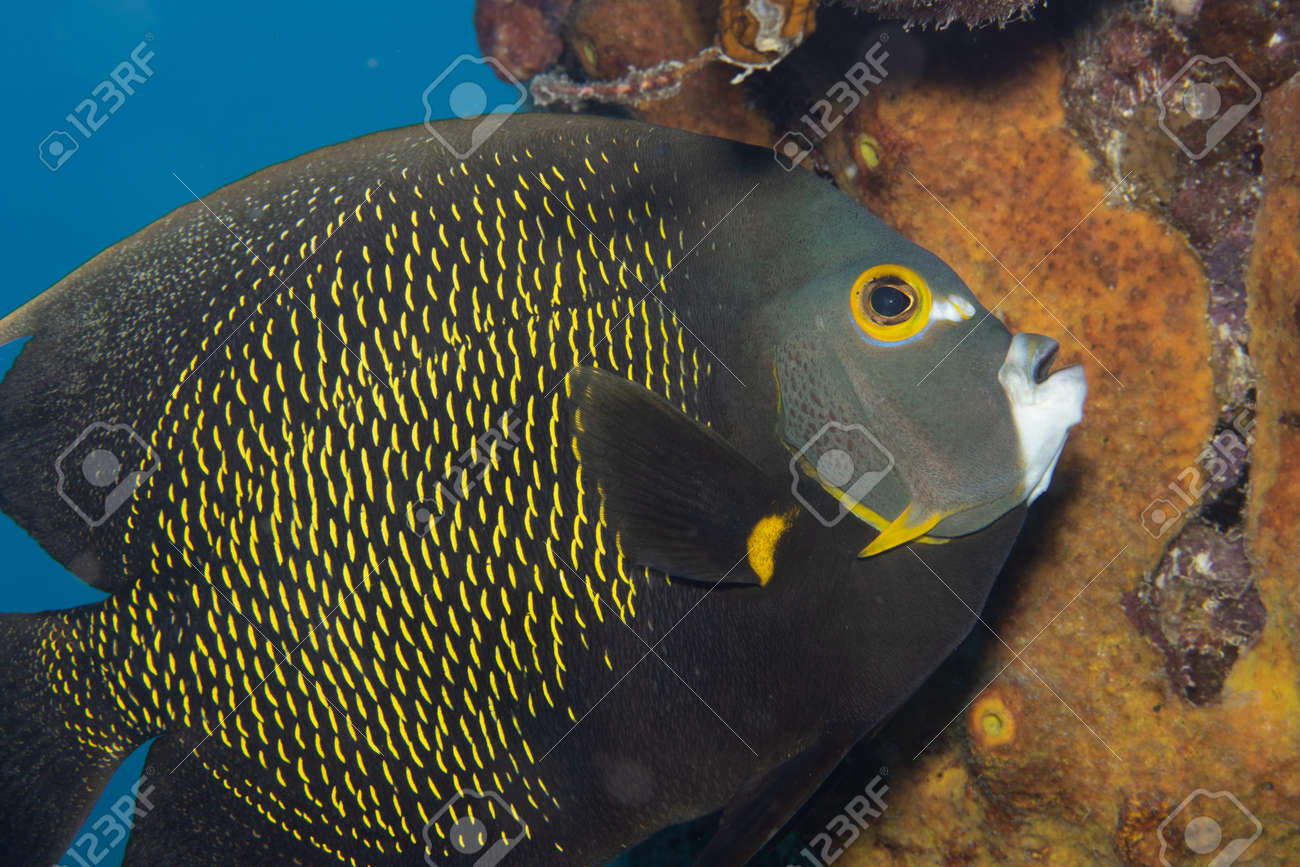 French angelfish on coral reef off the tropical island of Bonaire in the Caribbean Netherlands. - 169539214