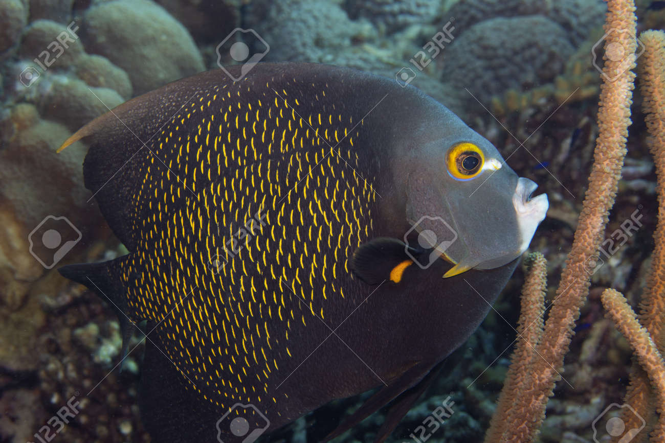 French angelfish on coral reef off the tropical island of Bonaire in the Caribbean Netherlands. - 169539170