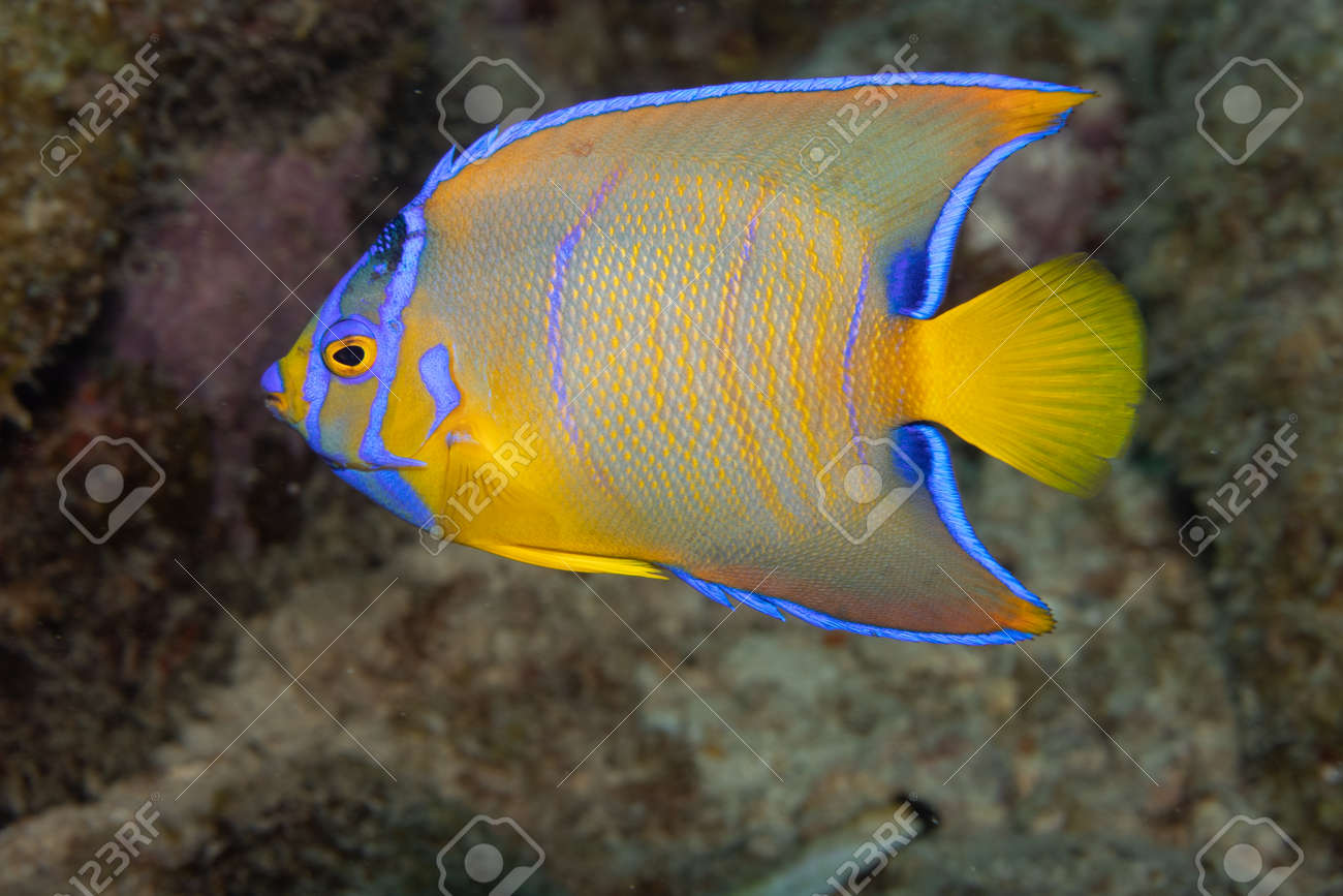 Juvenile queen angelfish in transition phase on coral reef off the tropical island of Bonaire in the Caribbean Netherlands. - 169539171