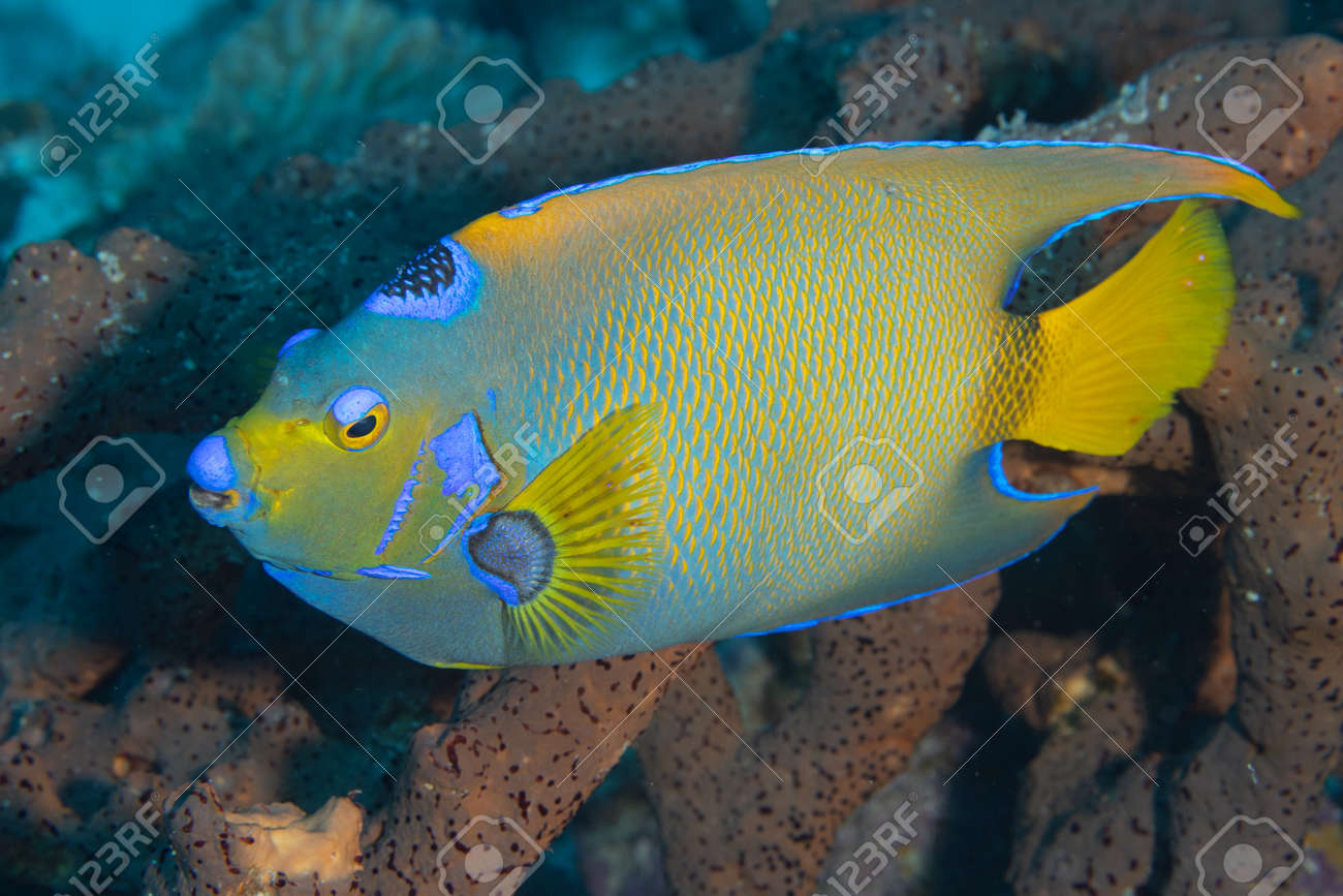 Queen angelfish on coral reef off the tropical island of Bonaire in the Caribbean Netherlands. - 169539172