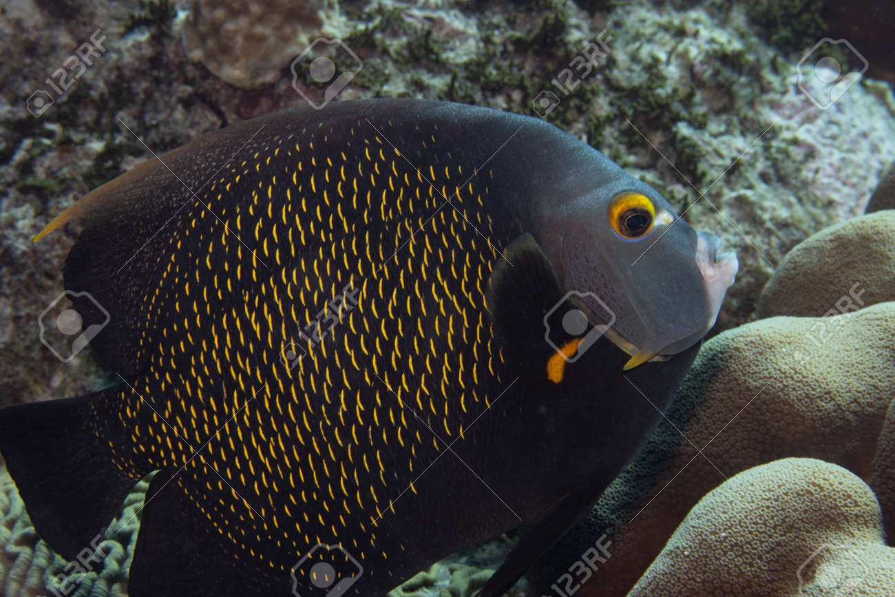 French angelfish on coral reef off the tropical island of Bonaire in the Caribbean Netherlands. - 169539174