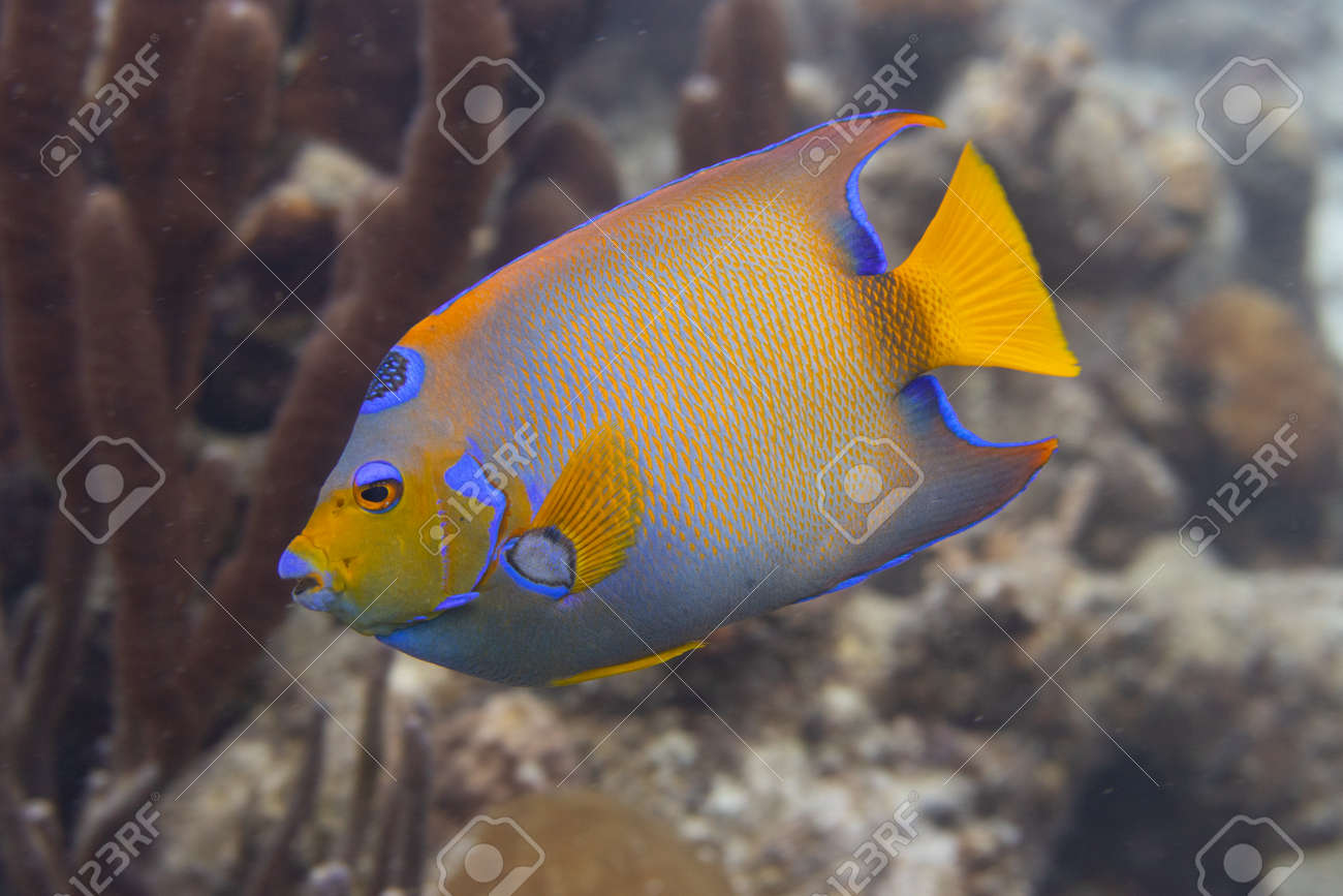 Queen angelfish on coral reef off the tropical island of Bonaire in the Caribbean Netherlands. - 169539176