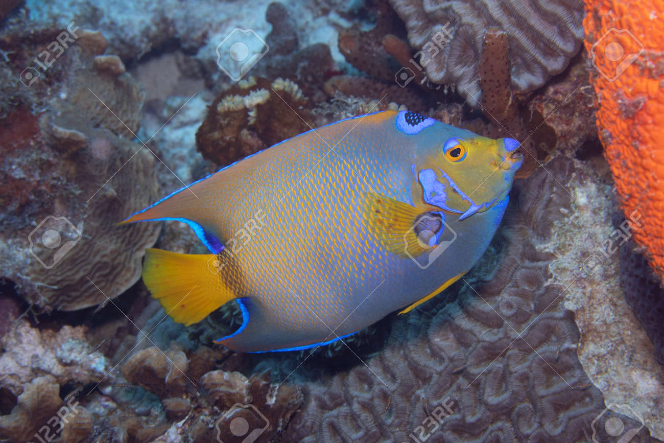 Queen angelfish on coral reef off the tropical island of Bonaire in the Caribbean Netherlands. - 169539182