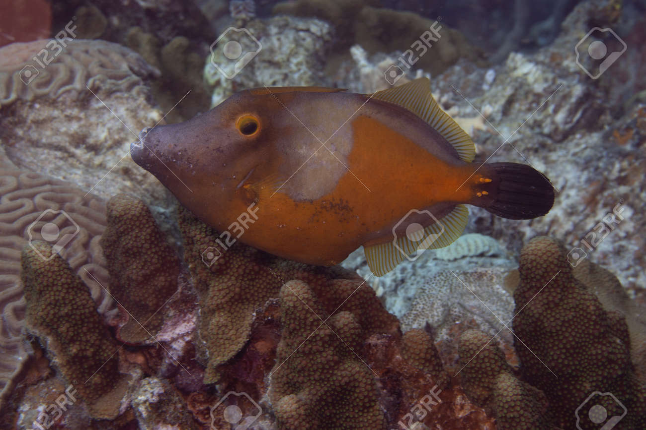 Whitespotted filefish orange phase on coral reef off the tropical island of Bonaire in the Caribbean Netherlands. - 169539185