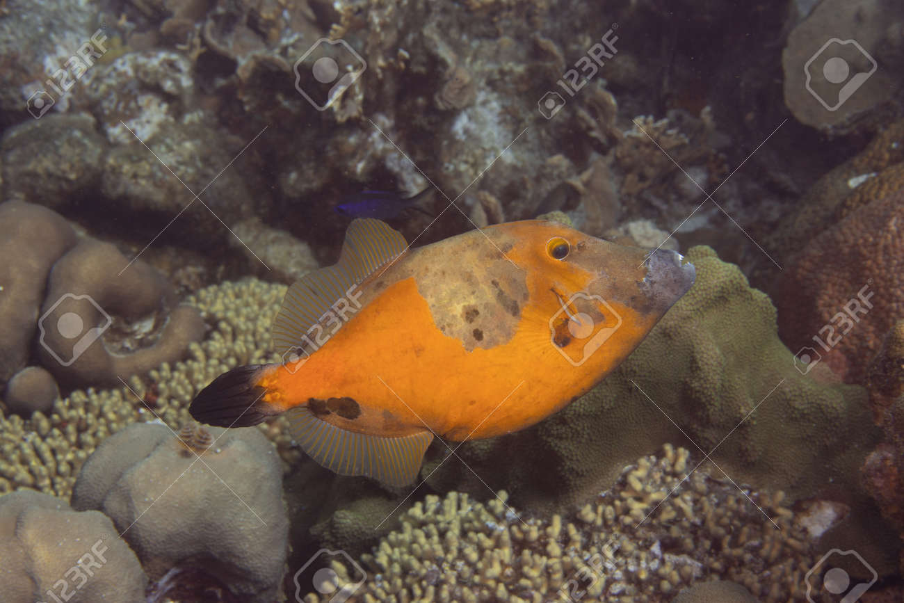 Whitespotted filefish orange phase on coral reef off the tropical island of Bonaire in the Caribbean Netherlands. - 169539150