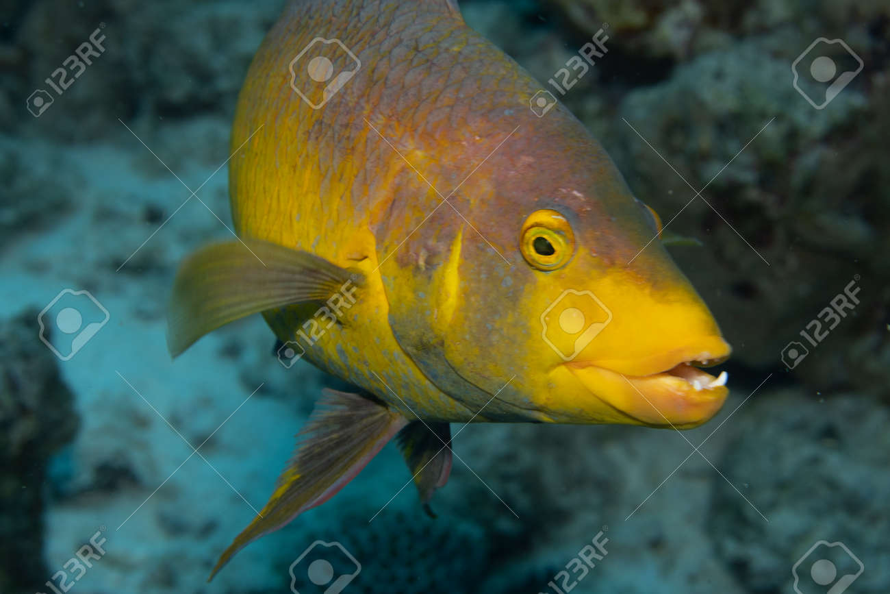 Spanish hogfish on coral reef off the tropical island of Bonaire in the Caribbean Netherlands. - 169539156