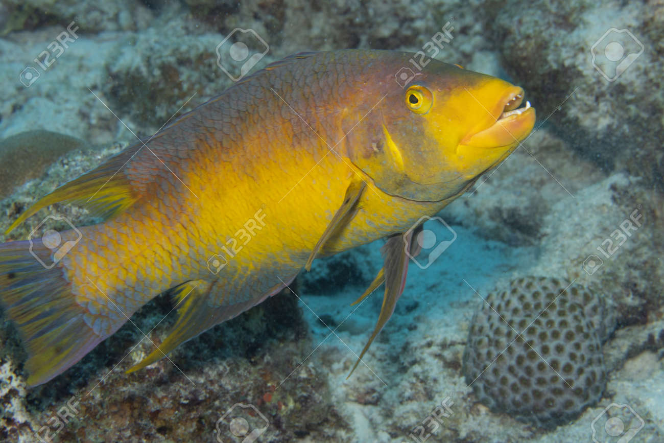Spanish hogfish on coral reef off the tropical island of Bonaire in the Caribbean Netherlands. - 169539160