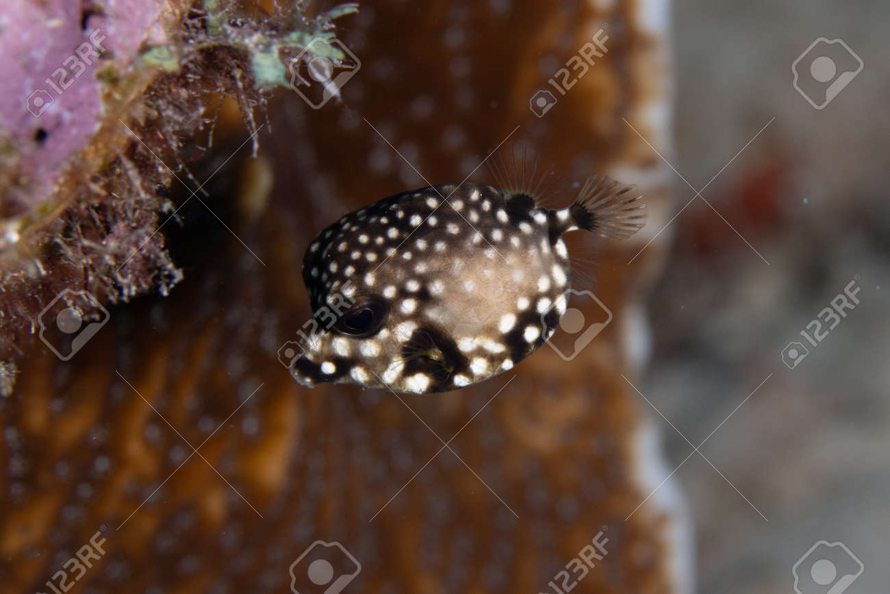 Juvenile Smooth trunkfish on coral reef off the tropical island of Bonaire in the Caribbean Netherlands. - 169539161