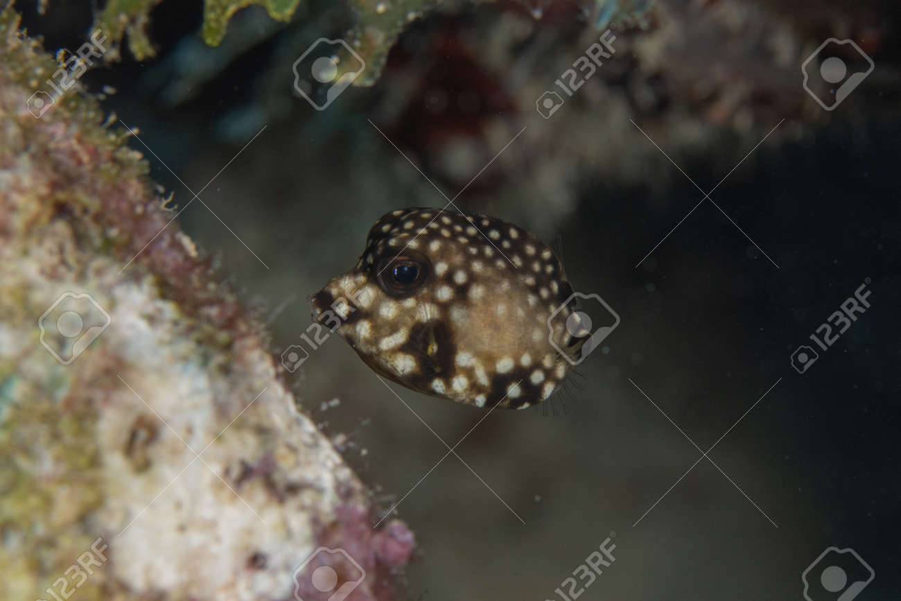 Juvenile Smooth trunkfish on coral reef off the tropical island of Bonaire in the Caribbean Netherlands. - 169539162