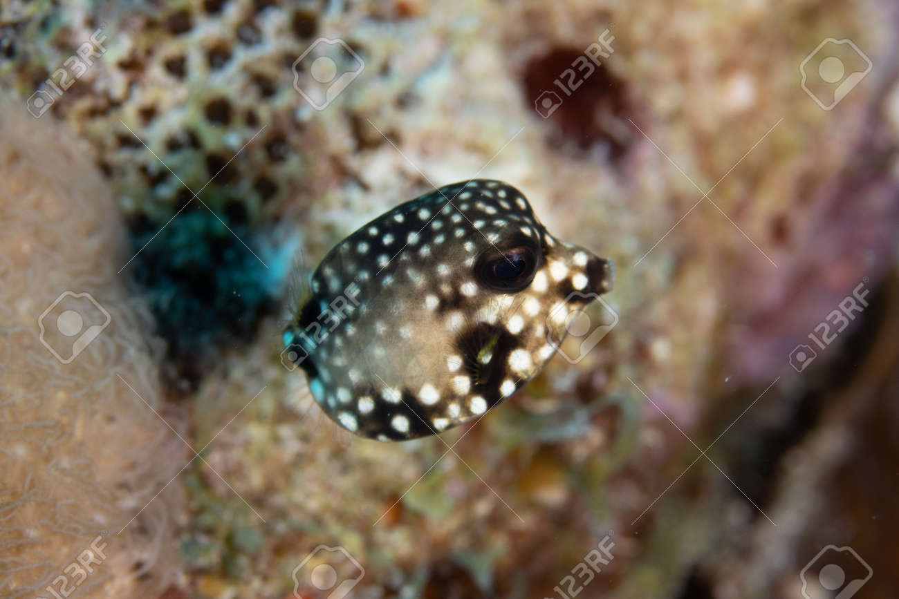 Juvenile Smooth trunkfish on coral reef off the tropical island of Bonaire in the Caribbean Netherlands. - 169539164