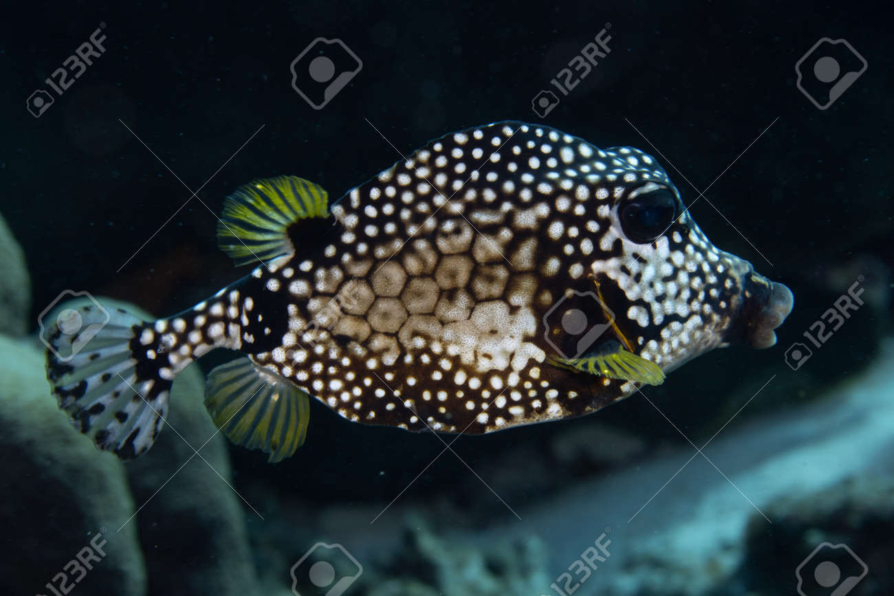 Smooth trunkfish on coral reef off the tropical island of Bonaire in the Caribbean Netherlands. - 169539133