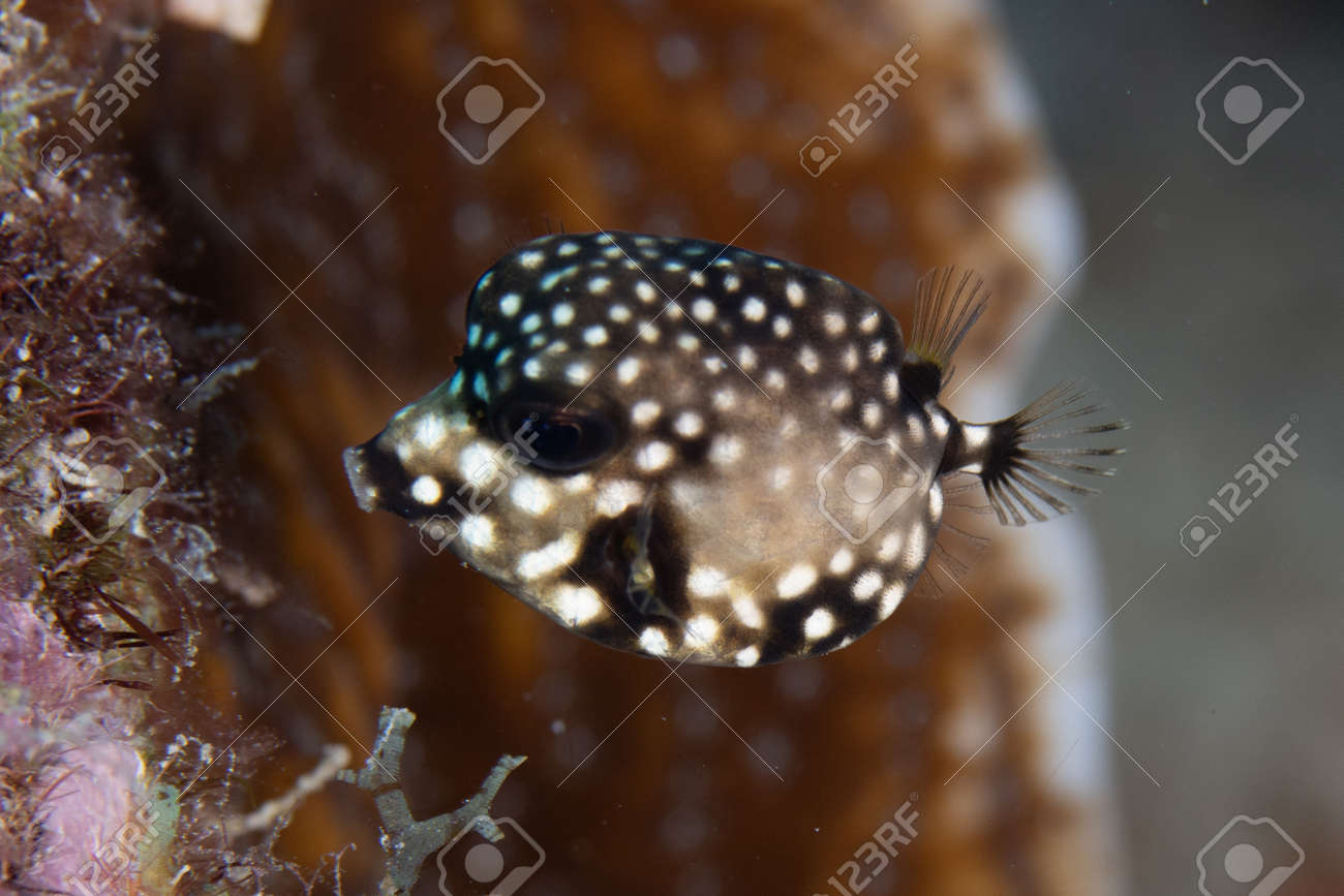 Juvenile Smooth trunkfish on coral reef off the tropical island of Bonaire in the Caribbean Netherlands. - 169539138