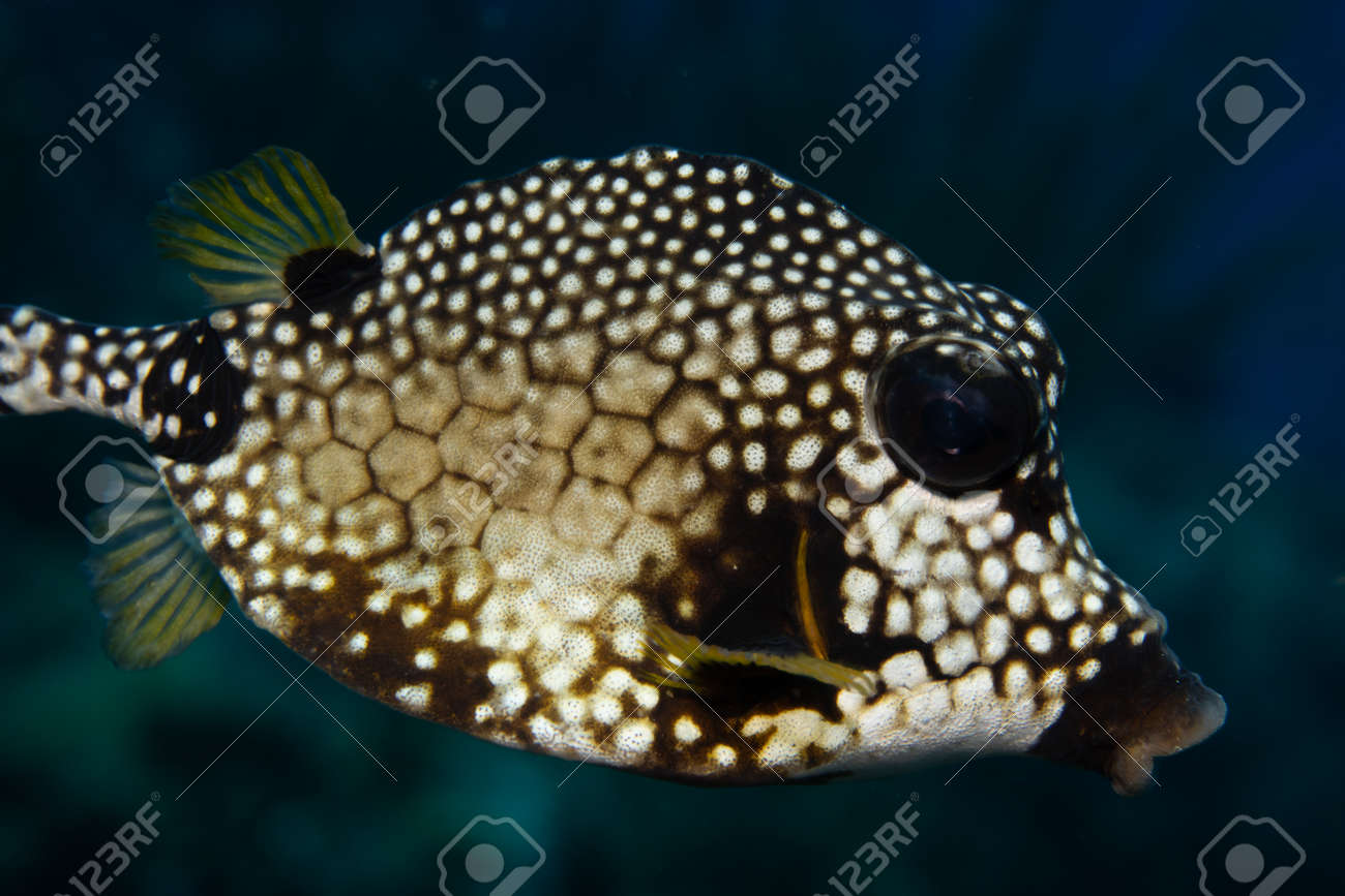 Smooth trunkfish on coral reef off the tropical island of Bonaire in the Caribbean Netherlands. - 169539140