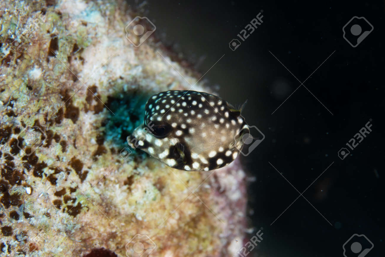 Juvenile Smooth trunkfish on coral reef off the tropical island of Bonaire in the Caribbean Netherlands. - 169539143