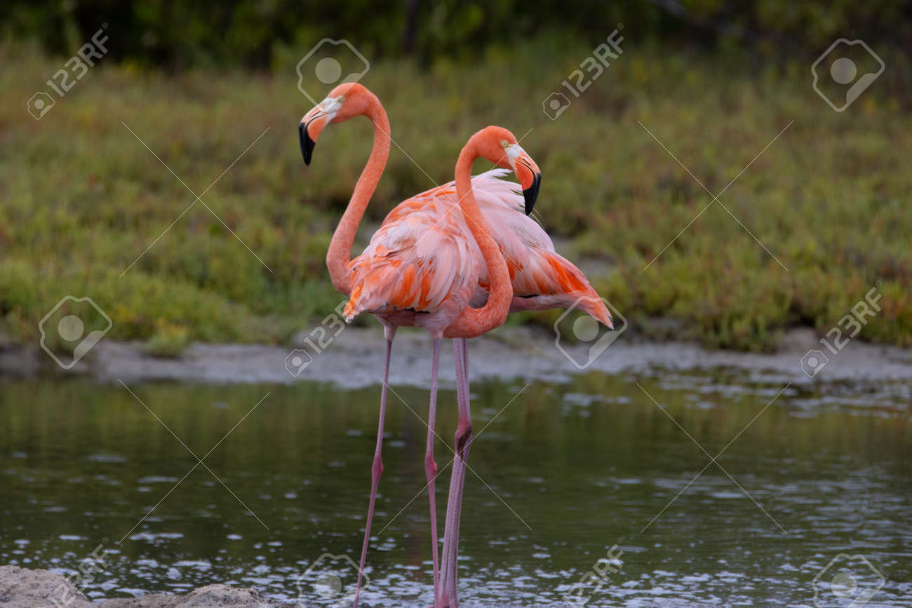 Pair of American flamingo on the tropical island of Bonaire, part of the Caribbean Netherlands. - 169539149