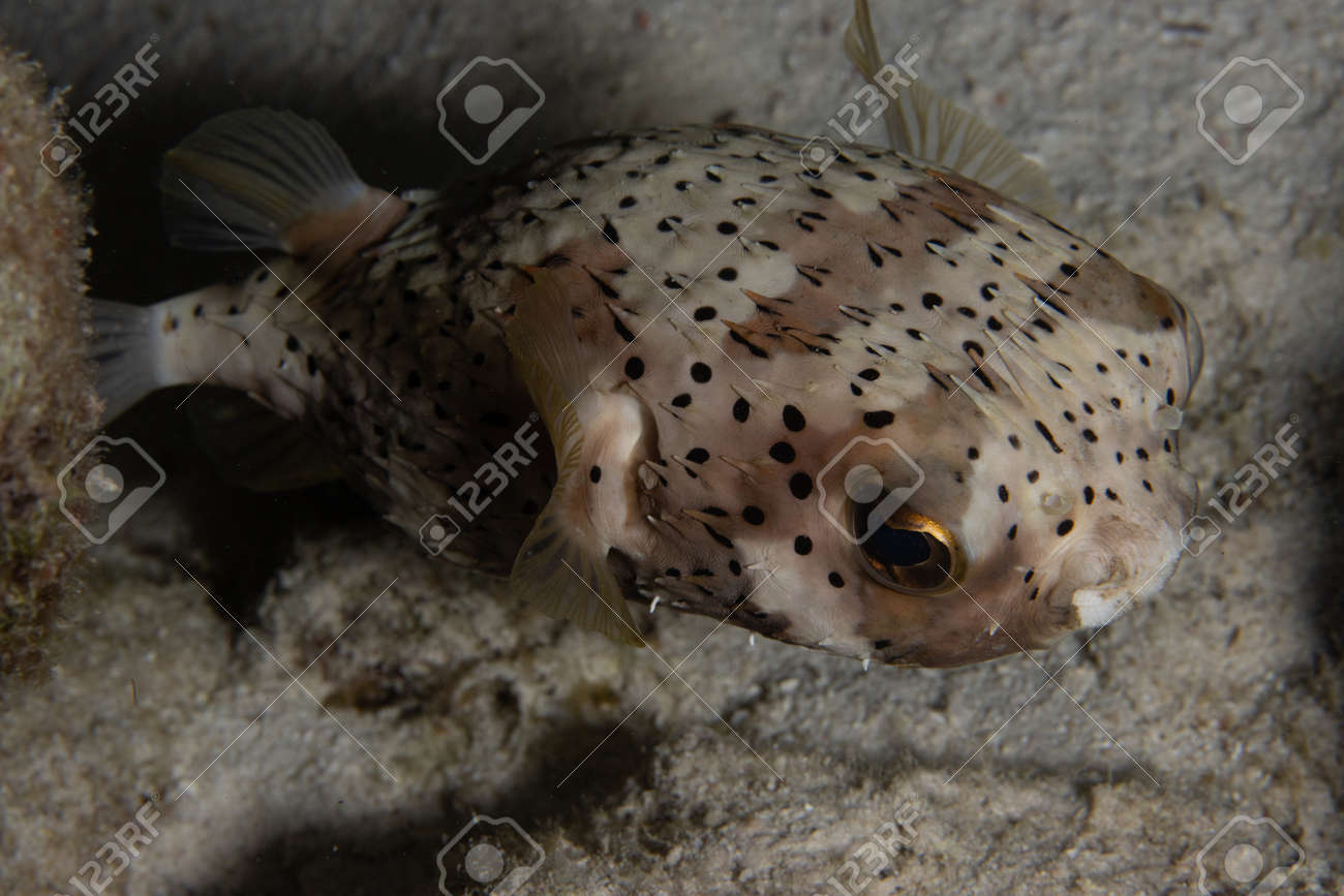 Pufferfish on coral reef off the tropical island of Bonaire in the Caribbean Netherlands. - 169538863