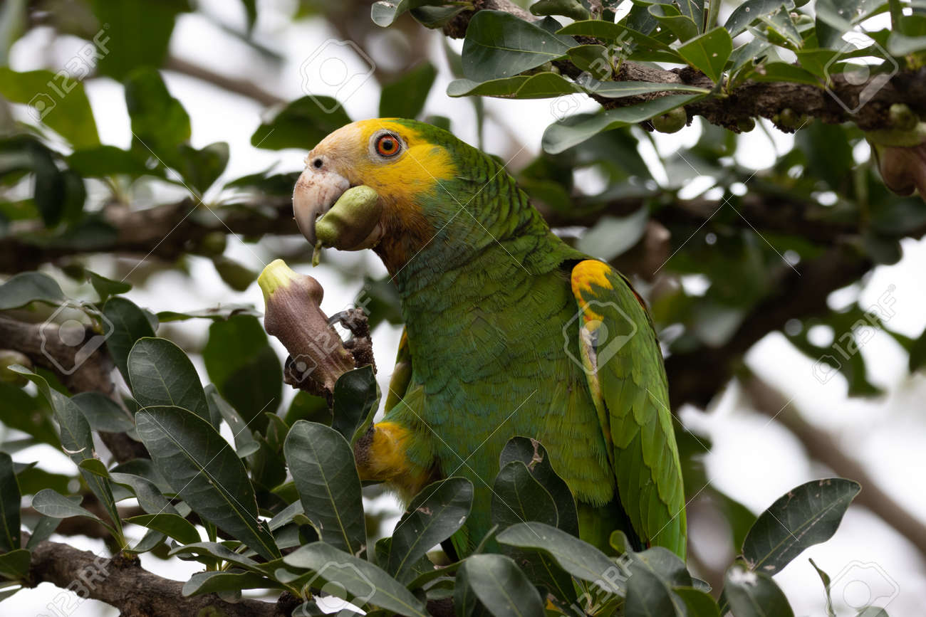 Yellow-Shouldered Amazon parrot on the tropical island of Bonaire, part of the Caribbean Netherlands. - 169539038