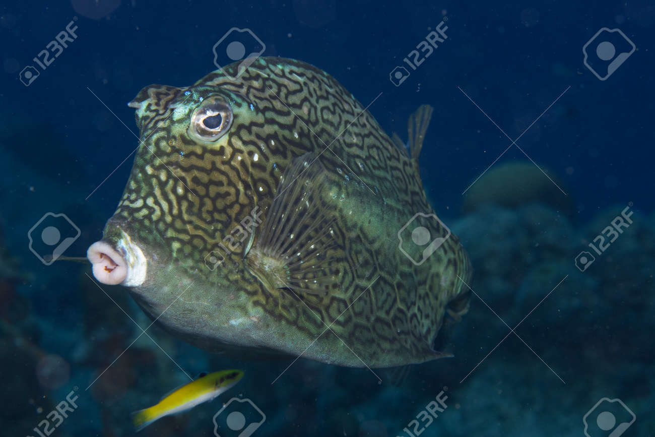 Honeycomb cowfish on coral reef off the tropical island of Bonaire in the Caribbean Netherlands. - 169539043