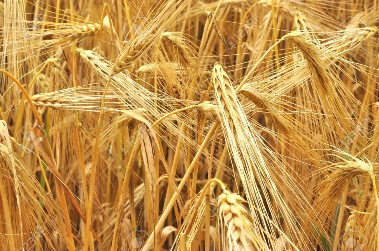 grain field Stock Photo - 14652881