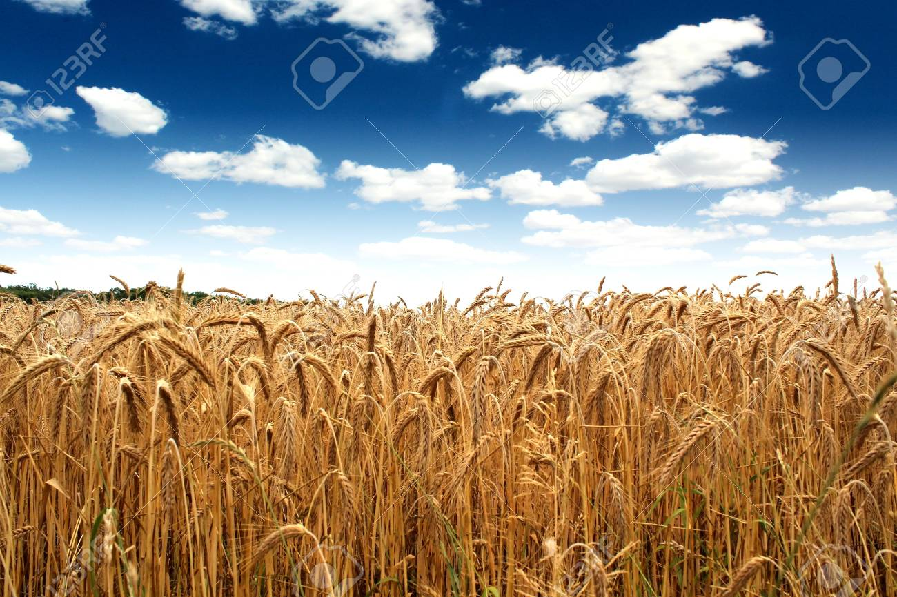 country wheat field under a beautiful blue sky Stock Photo - 21214350