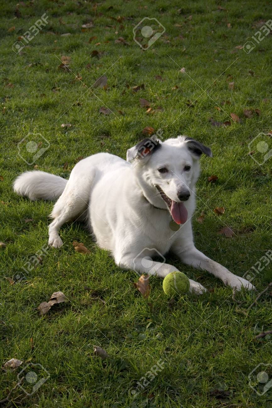 Bright eyed white dog looking attentive on grass background. Stock Photo - 5885374