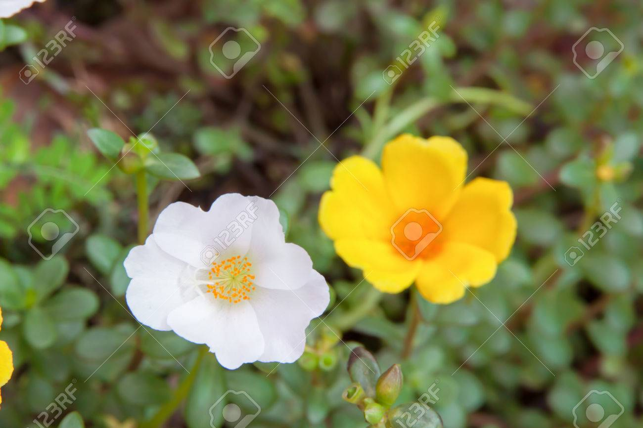 Sun rose flower white and yellow color in garden stock photo stock photo sun rose flower white and yellow color in garden mightylinksfo