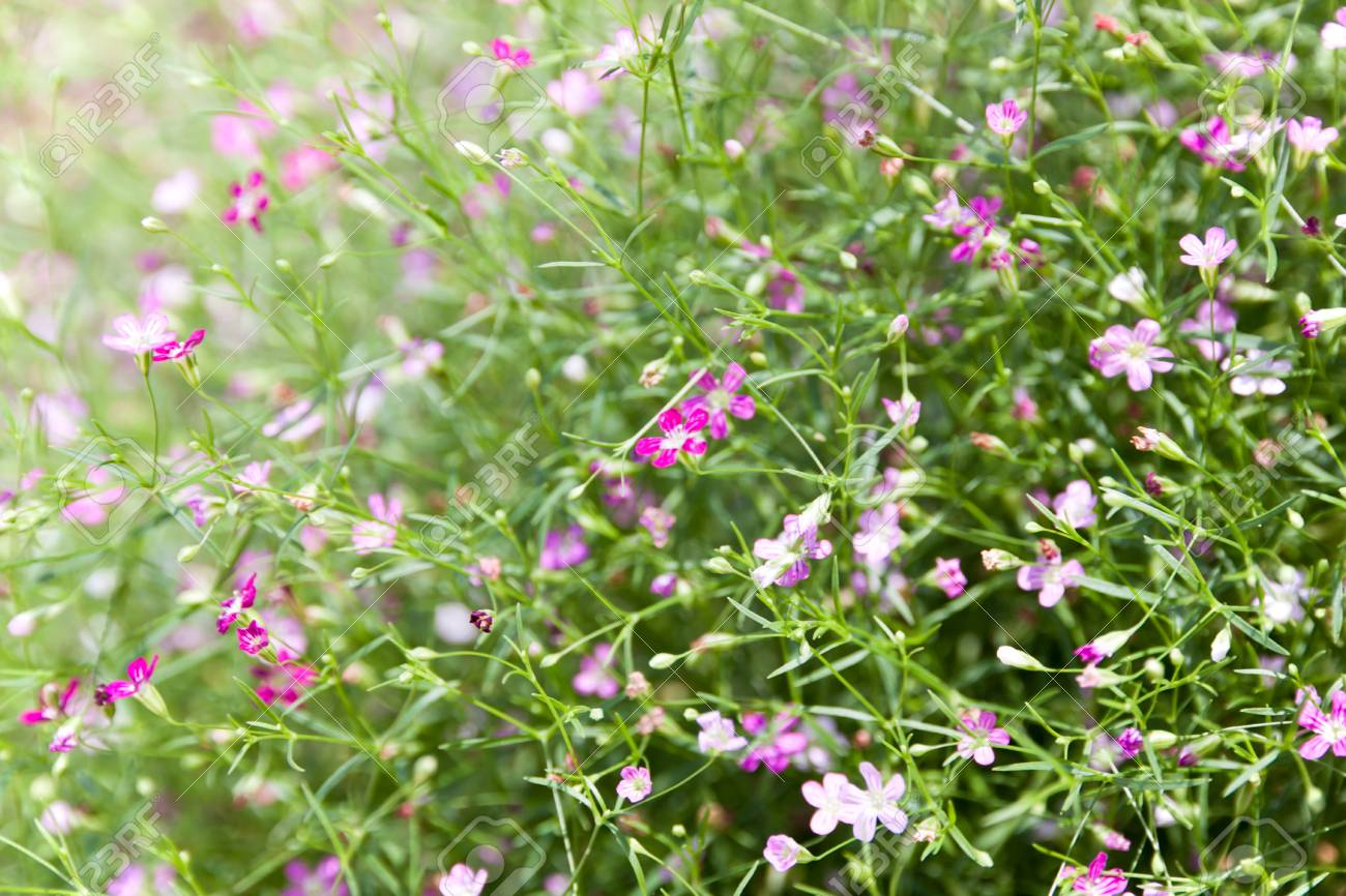 A Plant Of The Genus Gypsophila In The Pink Family Small Pink